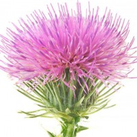 Milk Thistle Extract Powder 80% Silymarin With High Quality