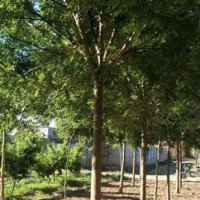 Fast-growing Chinese Sophora