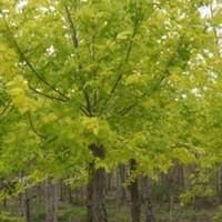 Golden Leaf White Wax