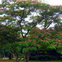 Greening Albizia Tree
