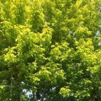 Golden leaf compound leaf maple seedling planting base