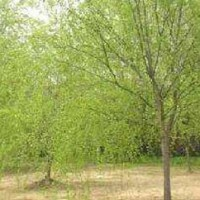 Fast-growing willow