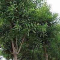 Congsheng National Sophora japonica planting base
