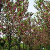 Robinia safflower